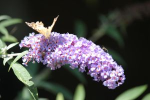Butterfly Bush by Laur720