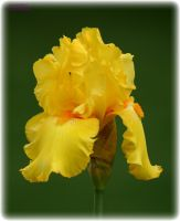 Yellow Iris 1 by panda69680102