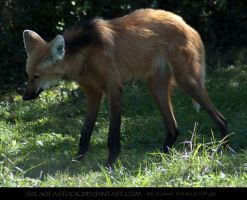 Maned Wolf 3 by SalsolaStock