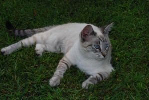 Tabby Siamese Cross by Snowyowl88-Stock
