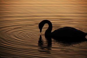 Swan at Devon-Coommber by dowdall