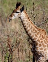 baby giraffe in africa by lindaatje