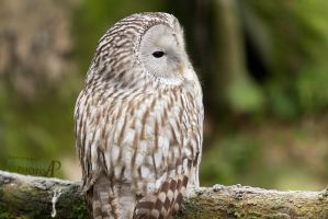 Ural Owl. by Ravenith