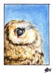 130613-14 ACEO little owl by Crateris