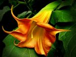 Brugmansia 'flava' by Plantsoma