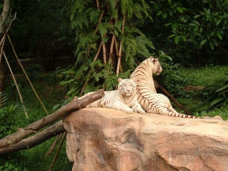 White tigers by HomieBear