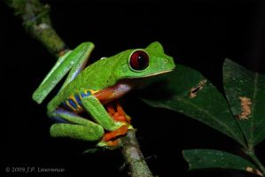 Red Eyed Tree Frog by MonarchzMan