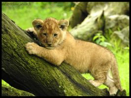 Lion cub by AzureHowlShilach