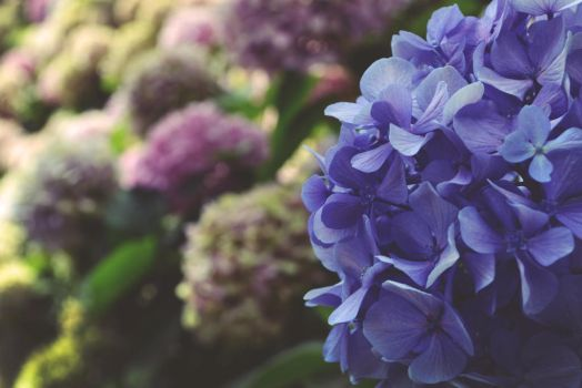 Ortensie in luce by thesilencelistener