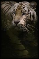 White Tiger I by waiaung