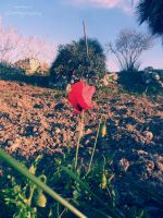 lonely poppy. by almostkilledme