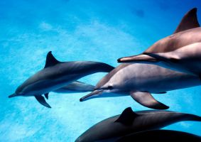 Spinner Dolphins by LazyDugong
