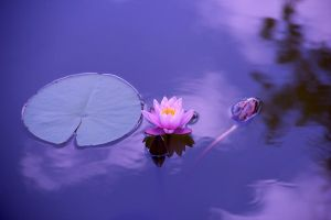 Lotus flower by GranthWeb