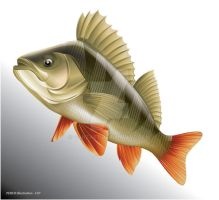 Perch vector illustration by ganzart