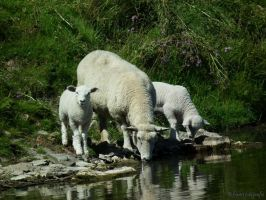 drinking Sheeps by frami-fotografie