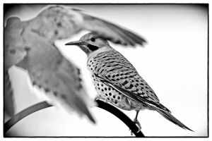 The Flicker and the Dove by clippercarrillo