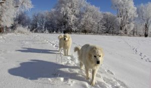 Great Pyrenees by cottoncandysheep
