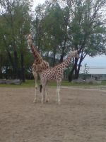 chester zoo giraffes by squishysart