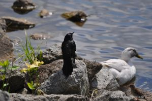 Common Grackle by aperfectmjk