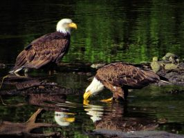 still water and eagles by Glacierman54