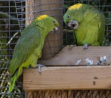 Yellow Naped Amazon Parrot by SalsolaStock