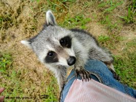 Rocky Raccoon by stormymay888