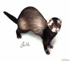 Bella the Ferret by nikkiburr