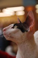 Devon rex 001 by n0ke
