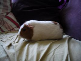 Lavender, Guinea Pig on the Couch by raiku321