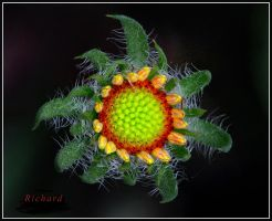 Rainbow Flower by RichardRobert