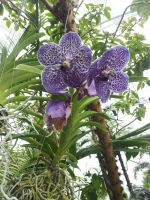 Purple Vanda Orchids by Metacharis