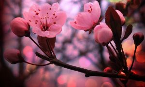 Cherry Blossoms by Arafelle