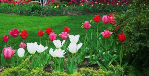Pretty Tulips by Lust0fADeeperPain