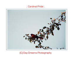 .:Cardinal Pride:. by DayDreamsPhotography