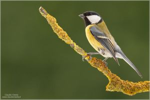 Great Tit II by ClaudeG