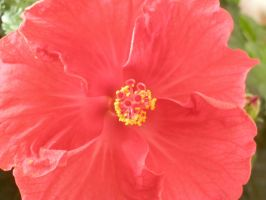 Chinese hibiscus by tegalus