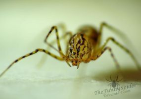 Spitting Spider - Scytodes thoracica by TheFunnySpider