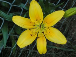 Yellow Lily 2 by oneofakindgurl