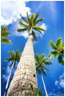 Coconut trees stand tall by jaydoncabe