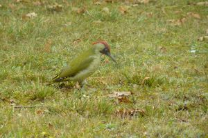 Pic vert  -  Green woodpecker by gwenoder