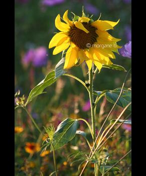 Tournesol by moem-photography