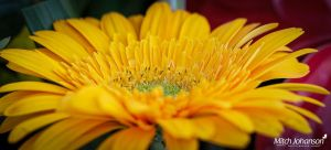 Yellow As the Sun Pano by mjohanson