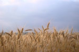 Wheat field 3 by Panopticon-Stock
