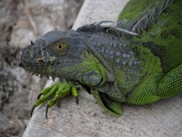 Algi The Iguana by ogghunter