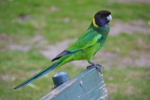 Port Lincoln Parrot by MayEbony