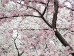 Cherry Blossoms 10 by zaphotonista