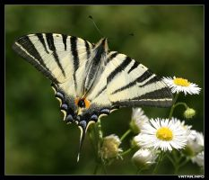 Swallowtail by IvanAntolic