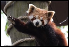 Waving Red Panda by Alannah-Hawker