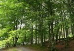 Beech Forest by NaviStock