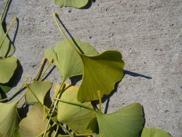 Ginko leaves on cement I by dull-stock